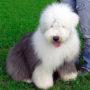 Породы собак: Бобтейл