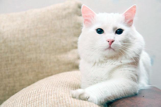 Породы кошек: Турецкая ангора