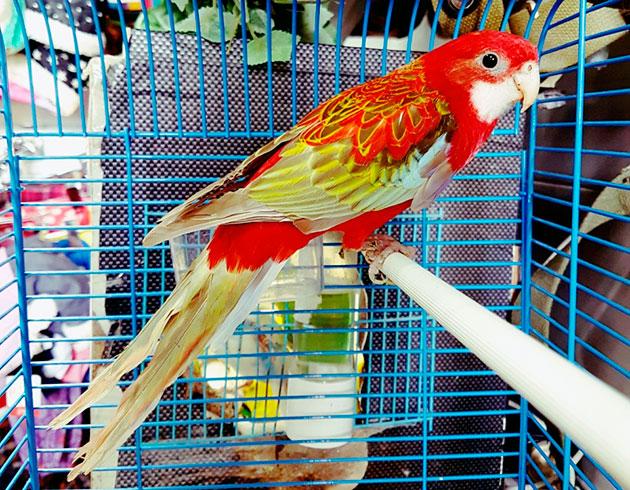 При покупке розеллы необходимо руководствоваться размерами попугая, так как от размера пернатого зависит и размер клетки