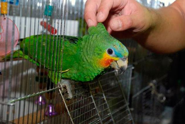 Попугай амазон тропическая птица, поэтому очень любит влажный воздух и теплый климат