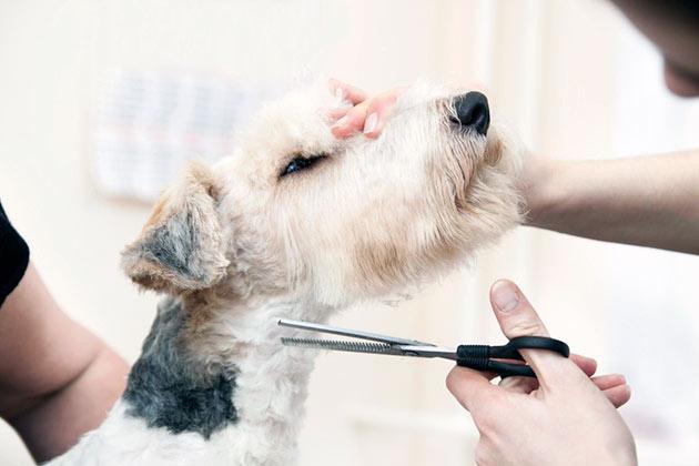 В перечень того, что необходимо сделать, что бы фокстерьер выглядел хорошо входят: стрижка, чистка ушей и глаз, мытье