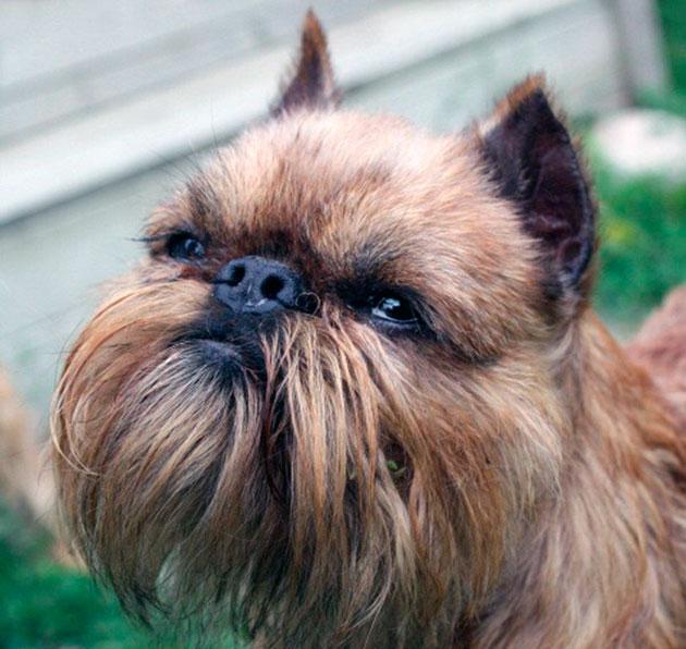 Слабое место у брюссельского гриффона - это глаза, если вы заметили сильную слезоточивость или другие отклонения, незамедлительно обратитесь к ветеринару
