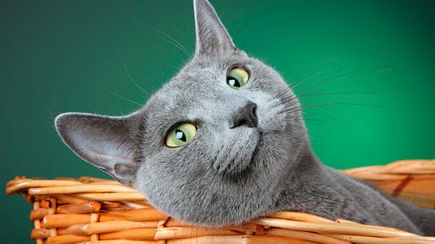 уход за коратам не вызывает особых затруднений, из-за отсутствия подшерстка кошку достаточно вычесывать раз в неделю