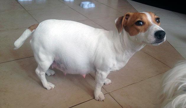 Во время беременности собаку прививать нельзя, необходимо это сделать до вязки или после окончания кормления щенков