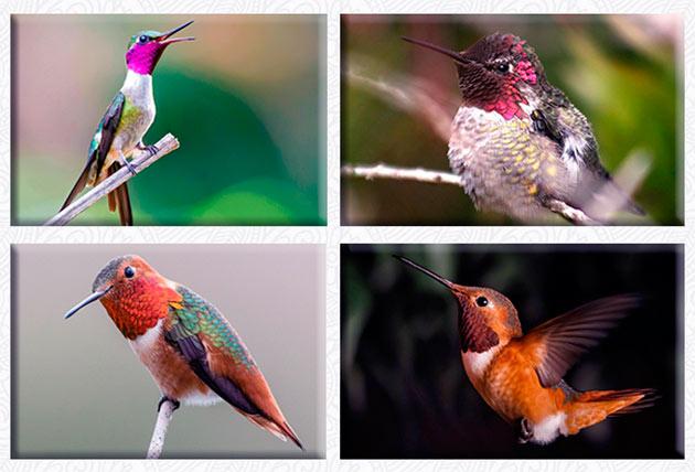 На сегодняшний день насчитывается 330 видов колибри