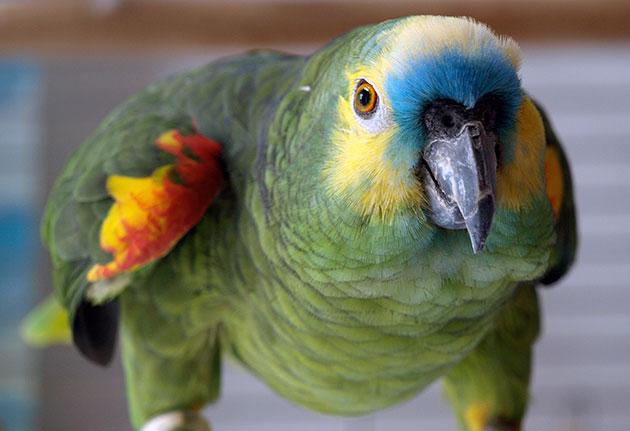 Попугай подразделяется на несколько десятков подвидов