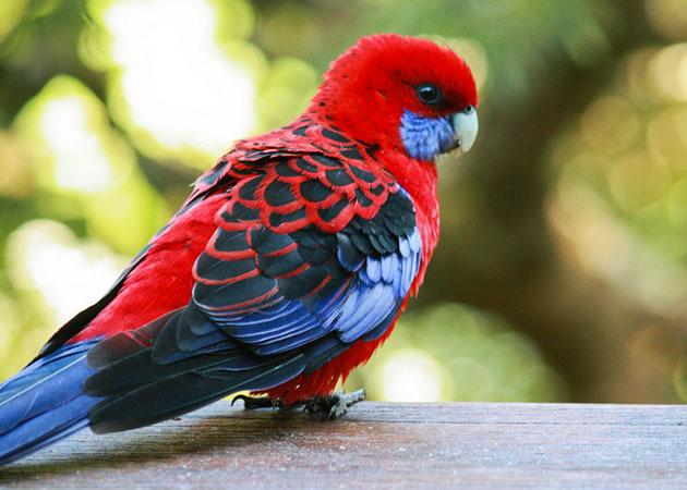 Виды попугая розеллы отличаются как окраской, так и размерами