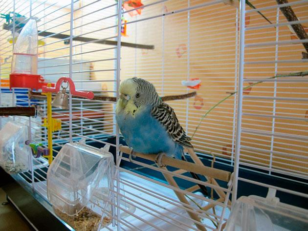 Клетку с волнистым попугаем необходимо установить где нет сквозняков и прямых солнечных лучей