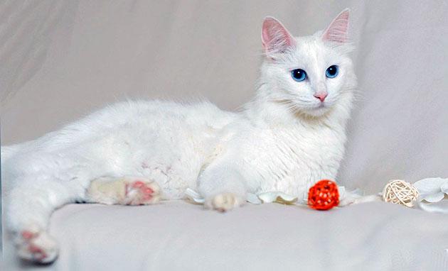 Ангорская кошка достаточно любопытная и активная кошечка, любит быть в центре внимания - именно поэтому плохо переносит одиночество