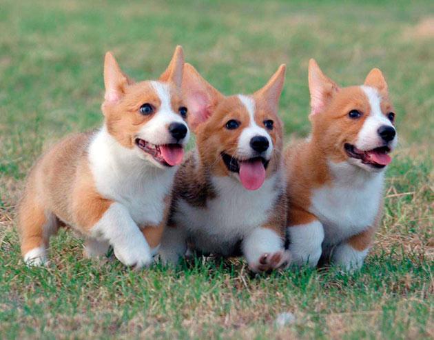 Вельш-корги достаточно умные собаки и легко адаптируются в новых условиях