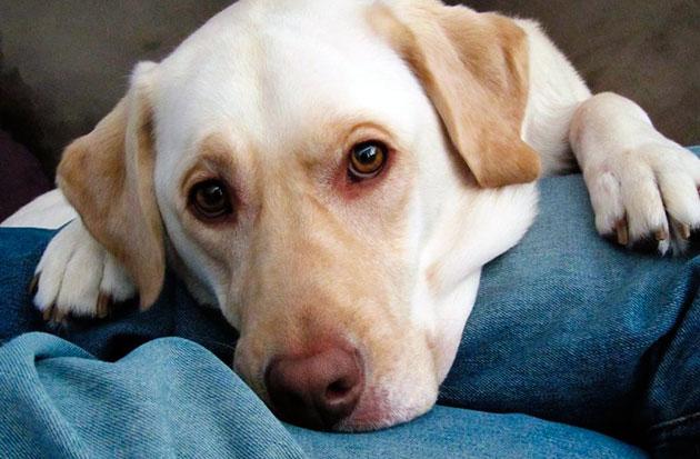 Бартонеллез у собак протекает, зачастую, бессимптомно