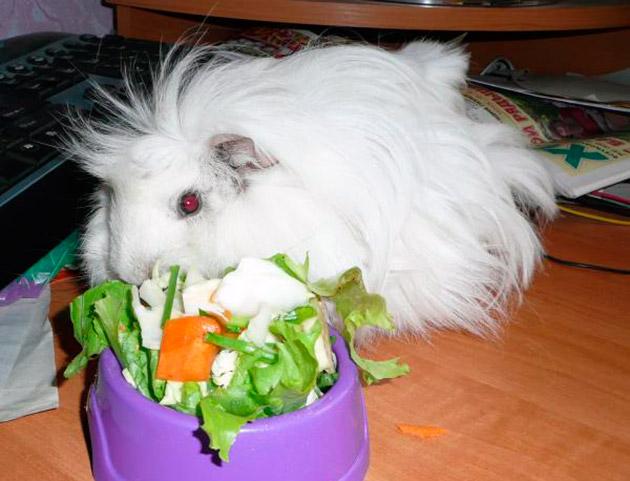 В рационе морской свинки должны присутствовать сено или трава, а так же свежие овощи и фрукты