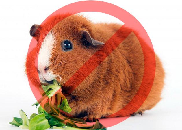Давать морской свинке лопухи, шпинат и щавель категорически запрещается