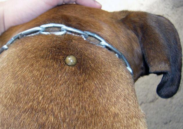 Что делать, если собаку укусил клещ