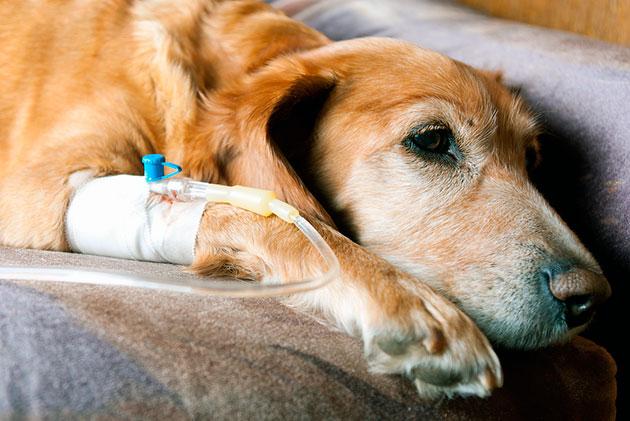 Коварность болезни гепатозооноз у собак заключается в том, что болезнь может проявить себя через несколько лет