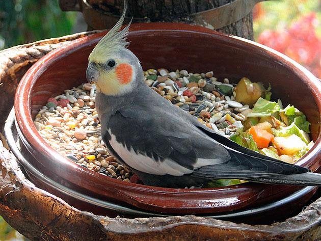 Попробуйте дать попугаю несколько видов кормов и какой ему больше понравиться, тем и кормите