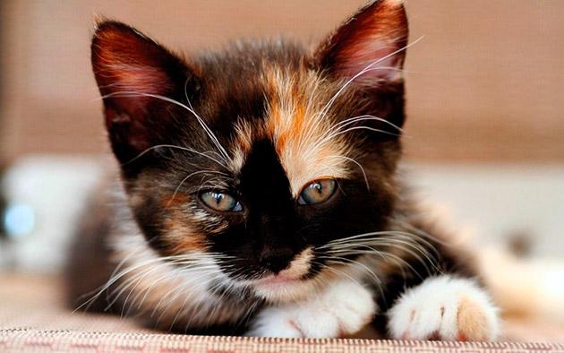 Котята с черно-бело-рыжим окрасом, как правило обладают очень покладистым характером