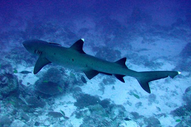 При исследование акул в карибском море, что некоторые виды акул научились отдыхать в пещерах на дне океана