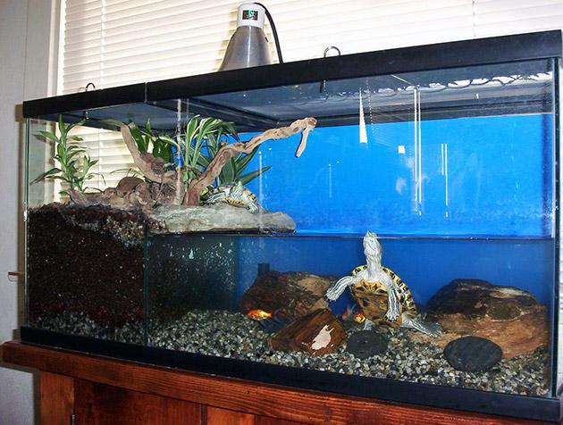Красноухие черепахи достаточно много времени проводят, как на суше, так и в воде