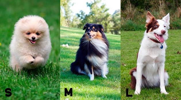 В аджилити могут участвовать, как крупные породы собак, так и маленькие