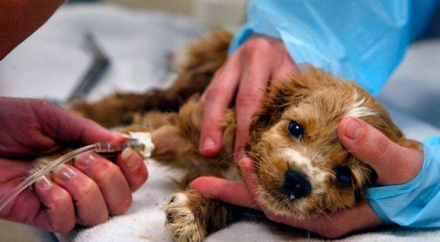 По статистике клещевой энцефалит у собаки, является основной причиной смерти собак