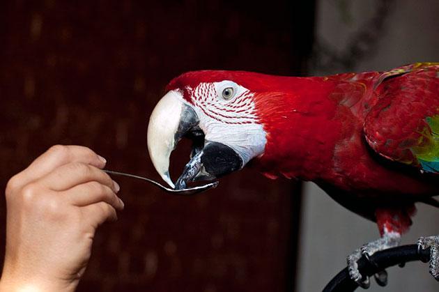 Попугая можно побаловать пищей животного происхождения, например кефиром