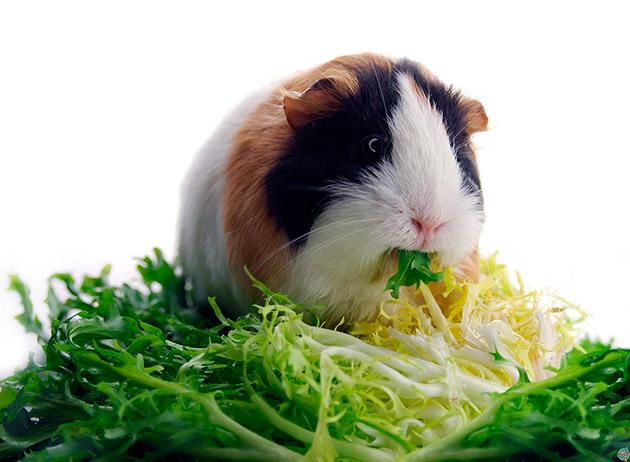 Основной рацион питания морских свинок - овощи, фрукты, зелень