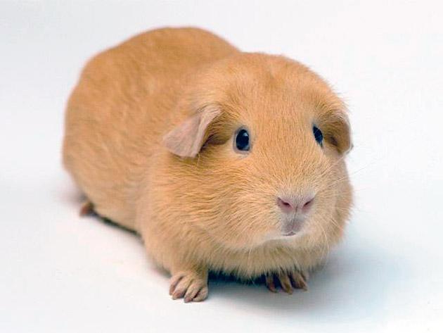 Английские морские свинки обладают крепким здоровьем и редко болеют