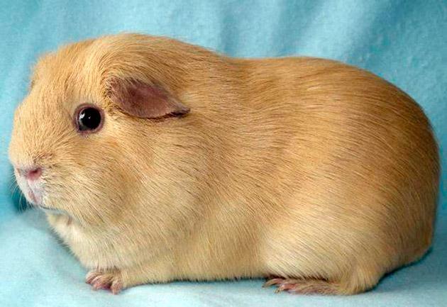 Морская свинка: Английский Селф