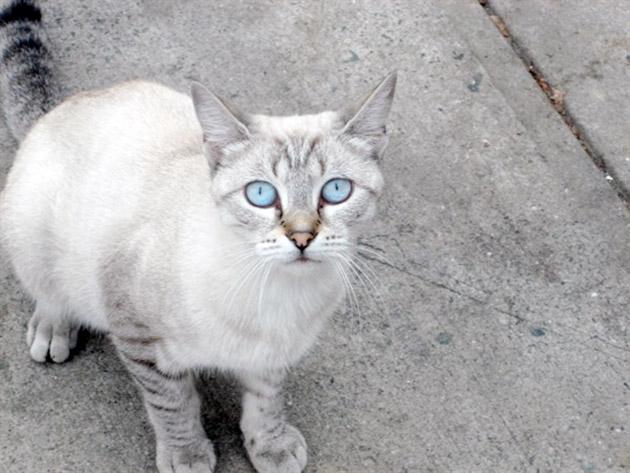 Породы кошек: Охос Азулес