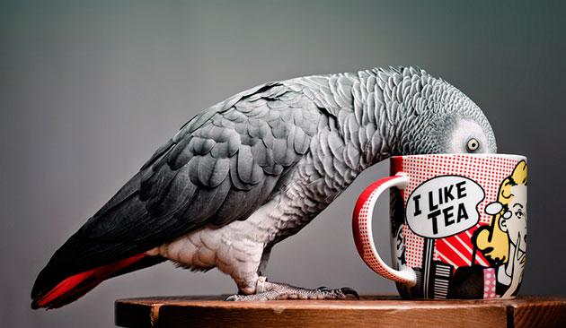 Чай попугаю, можно давать изредка, в качестве тонизирующего средства