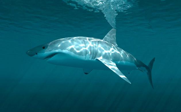 Как спят акулы