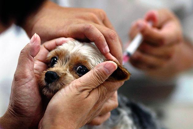 Перед вакцинацией щенок необходимо дать глистогонный перпарат