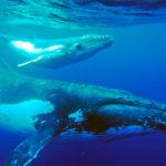 Голубой или синий кит
