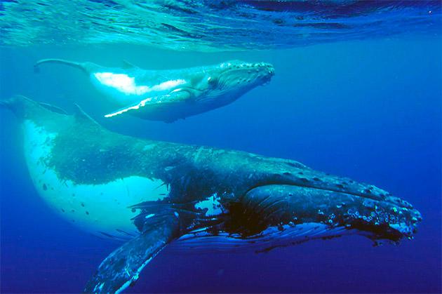 Разновидности синего кита отличаются в основном по габаритам и анатомии тела