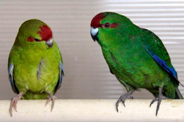 Попугаи какарики (Сyаnоrаmрhus)