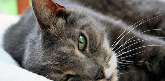 Последствия укуса клеща могут сказаться негативно за здоровье кошки, поэтому проконсультируйтесь у ветеринара