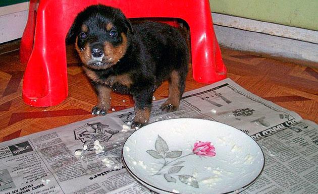 Чем кормить щенка 3 месяца