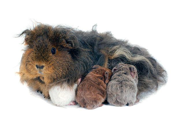 Половая зрелость свинки альпаки наступает в возрасте 8 недель