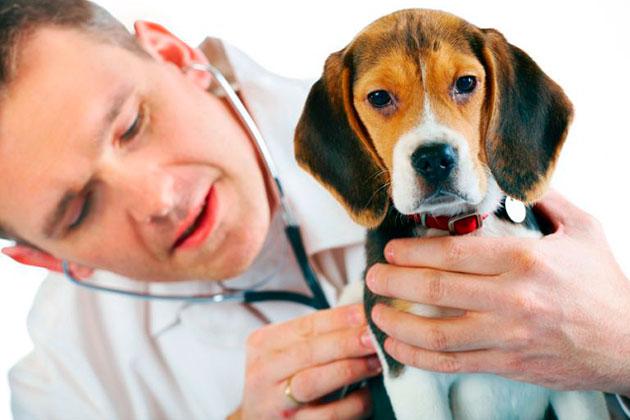 Нейротоксическая реакция при укусе собаки клещом, часто проявляется в параличе конечностей
