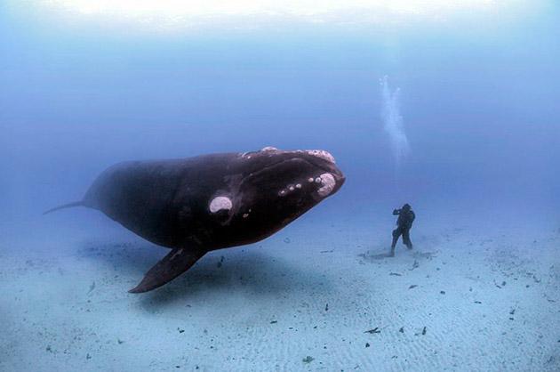 Массовое истребление голубых китов началось в 1868 и закончилось, лишь в 1966