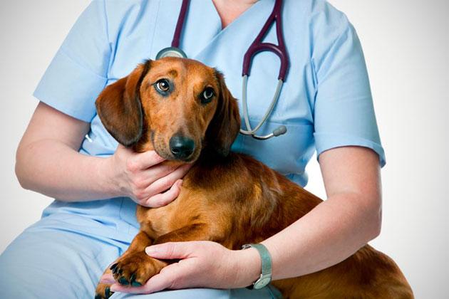 Если вы не обладаете достаточным навыком в удаление клещей у собаки, лучше обратиться в ветеринарную клинику