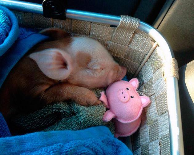 Приобретая мини пига позаботьтесь о том, что бы у свинки было личное пространство