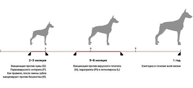 Схема вакцинации может составить врач ветеринар, так как она формируется от место проживания щенка и особенностей породы