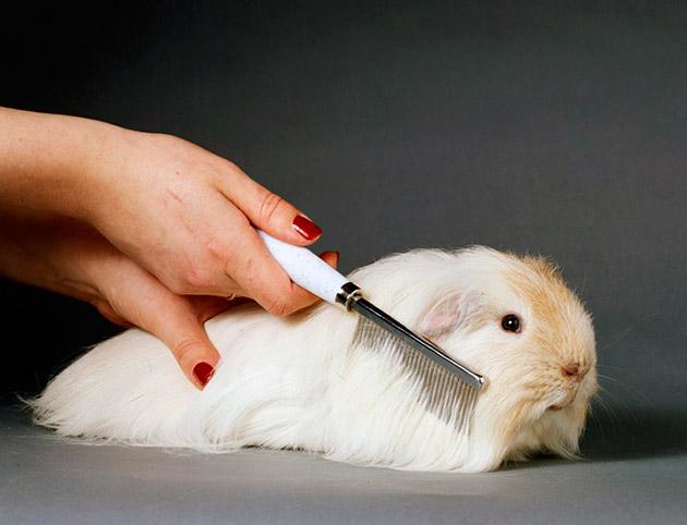 Главной проблема при содержание свинки альпаки - её шерст, которая требует регулярного ухода