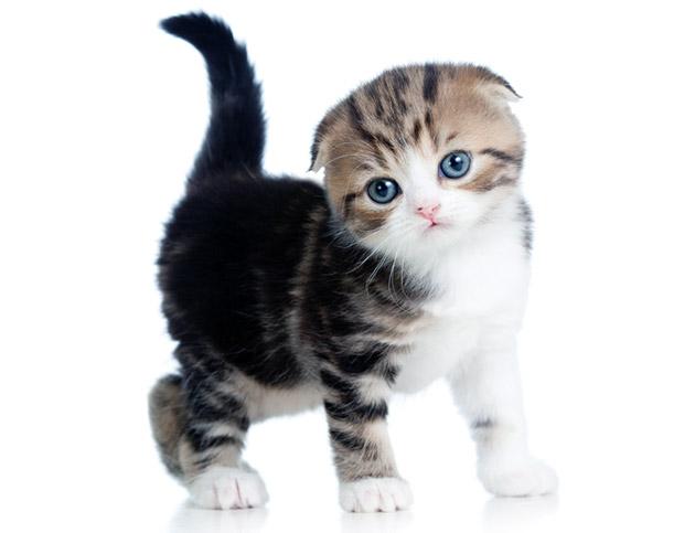 Первую прививку шотландскому вислоухому котенку делают в возрасте 12.5 недель