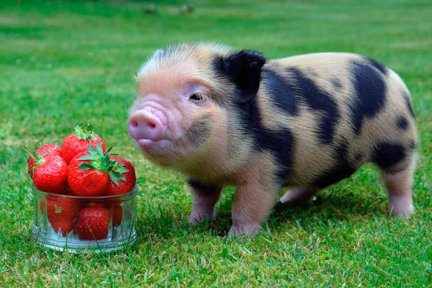 Мини-пиг – домашняя декоративная свинка
