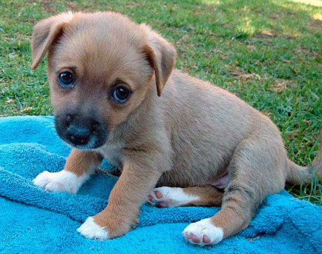 После вакцинации щенок может быть вялый, может подняться температура и если симптомы не исчезнуть через день необходимо обратиться к ветеринару