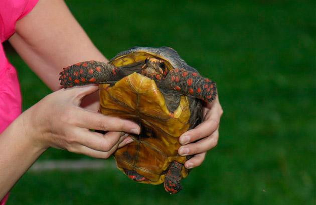 Самцам черепах, как правило дают экзотические имена, самые распространенные из них: Адмирал, Боцман, Матрос, Нельсон