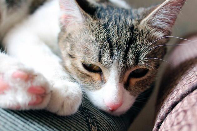 Если котята заболели чумкой явные признаки: отказ от молока матери, вялость и постоянные попискивания